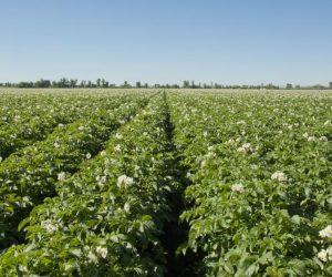 potatofield