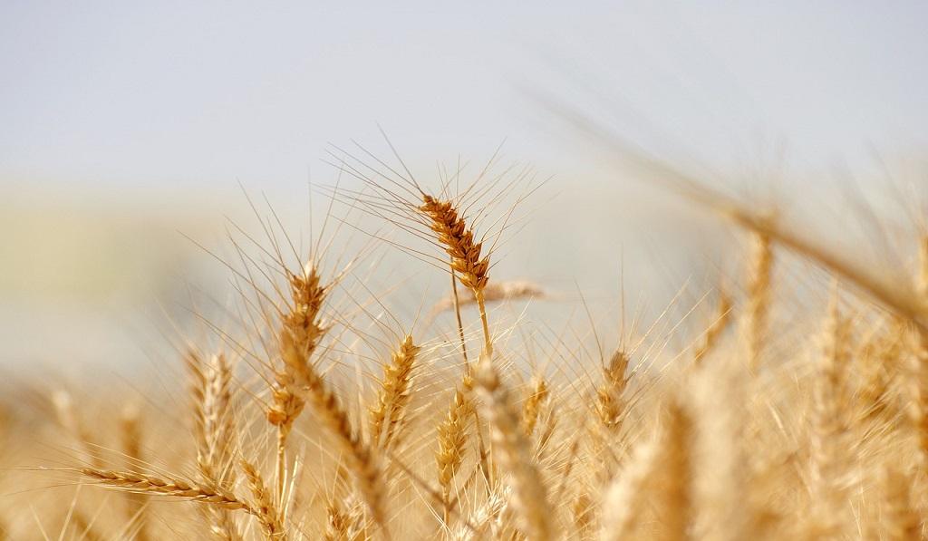 wheat-3120580_1280