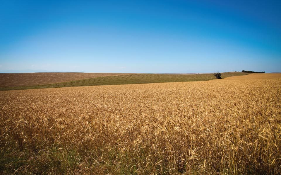 agrilimpopo-south-african-wheat-market