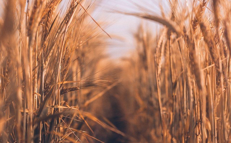Agrilimpopo wheat