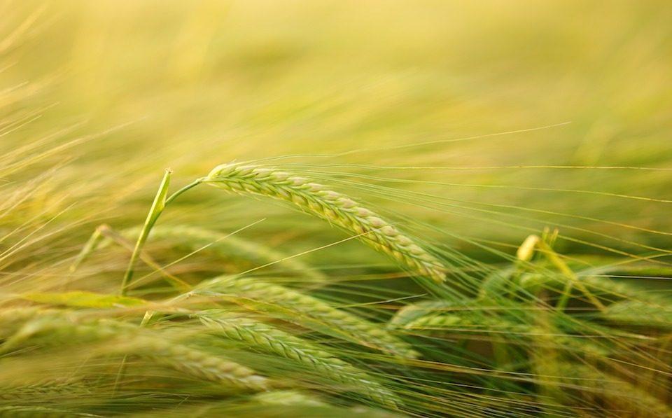 agrilimpopo grain