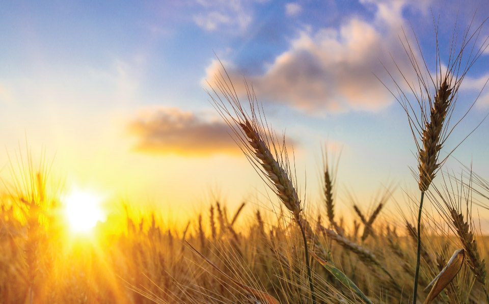 AgriLimpopo-South-African-Summer-Grain