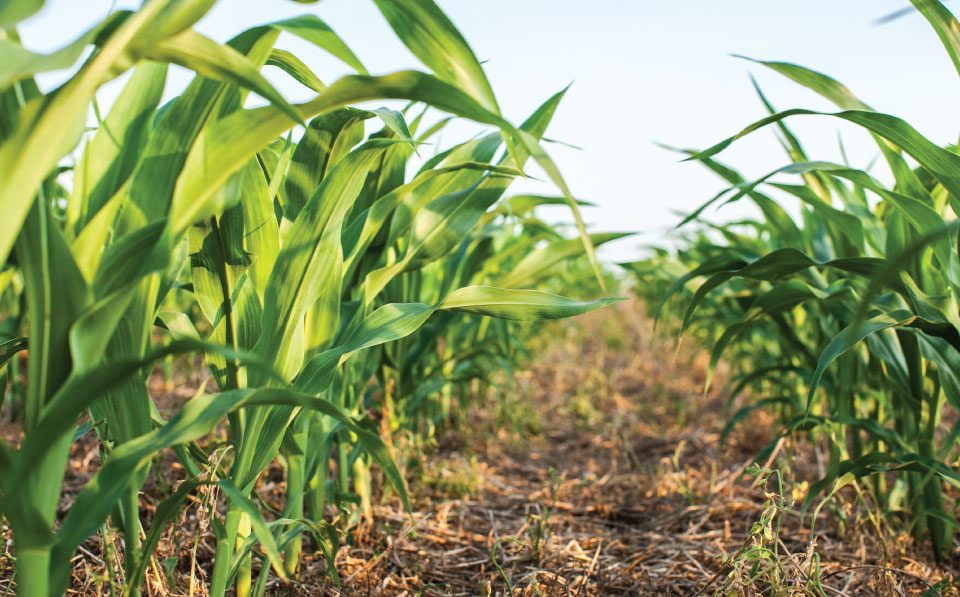 AgriLimpopo-South-Africa's-Summer-Crops