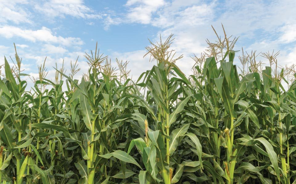 AgriLimpopo-Spotlight-on-Maize-Market