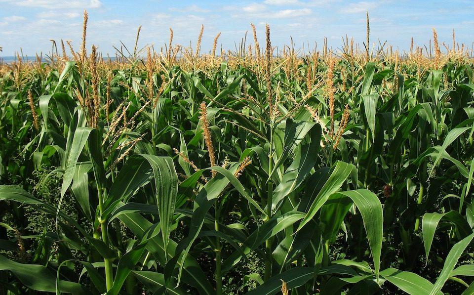 maize agrilimpopo