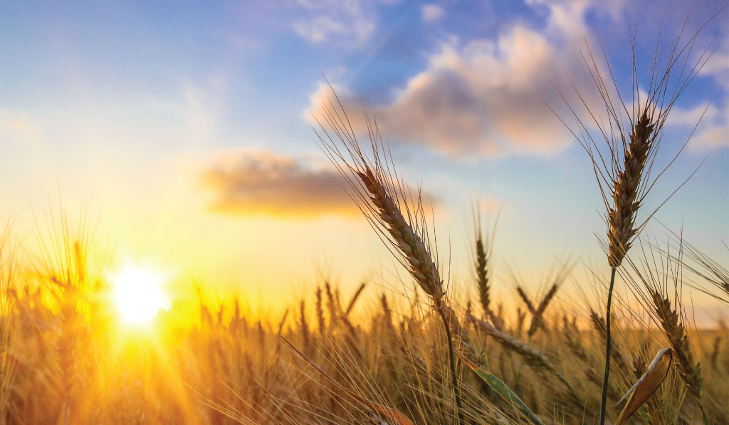 Agrilimpopo-South-African-Wheat-Harvest