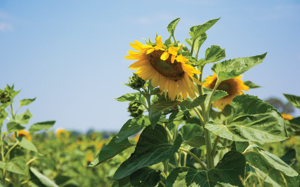 Agrilimpopo-Sunflower-Seed-Planting