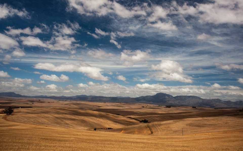 Agri-Limpopo-Winter-Wheat-Harvest-Western-Cape