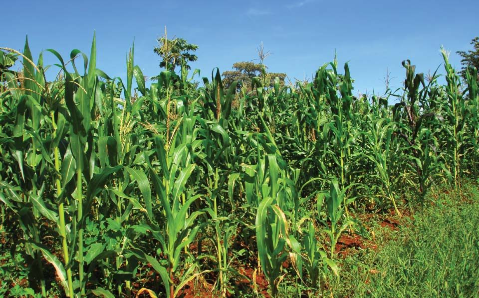 Limpopo-Agriculture-Maize-Production