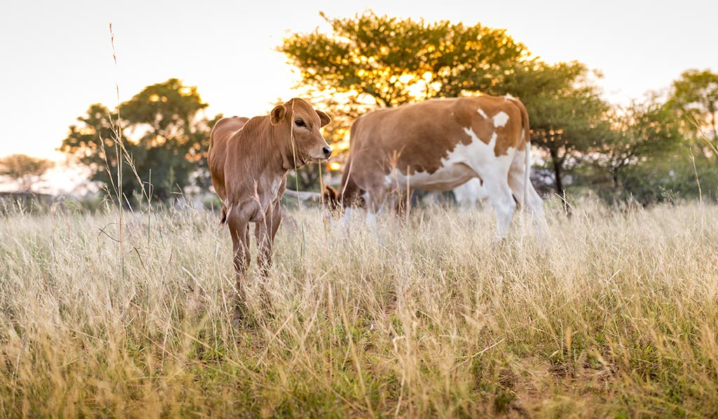 Limpopo-agriculture-South-African-Beef-Sector